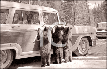 Royalty Free Photo of Three Bears Beside a Car