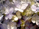 Royalty Free Photo of a Closeup of a Hydrangea
