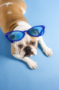 Royalty Free Photo of an English Bulldog Laying Wearing Over Sized Blue Sunglasses