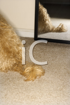 Royalty Free Photo of a Mixed Breed Dogs Tail With a Mirror in the Background