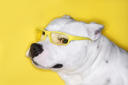 White Pit Bull wearing yellow glasses on yellow background.