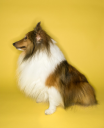 Royalty Free Photo of a Collie Dog