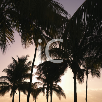 Palm trees against warm sunset colored sky in Miami, Florida, USA.