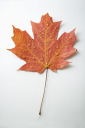Royalty Free Photo of a Sugar Maple Leaf Sprinkled With Water Droplets