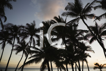 Royalty Free Photo of Palm Trees Silhouetted Against the Sky