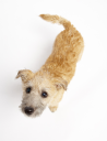 Royalty Free Photo of a Small Dog Looking Up