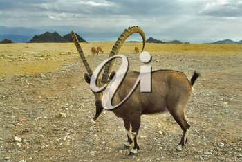 Royalty Free Photo of a Wild Goat in Israel
