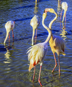 Picturesque exotic birds get food and communicate with each other. The flock of pink flamingos