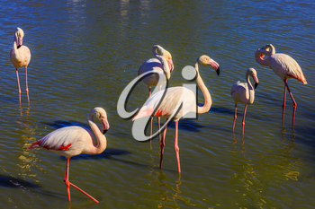 The flock of pink flamingos. Picturesque exotic birds get food and communicate with each other