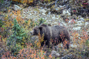 Autumn forest in Jasper National Park, Canada. Big brown bear looking for nuts, roots and stems of grass next to the road