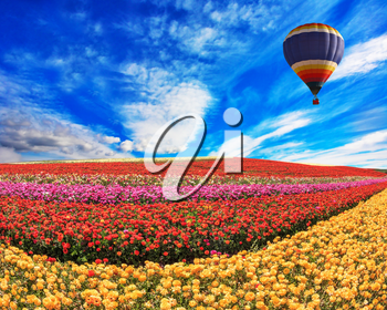Over the field in sky flying big balloon. Elegant multi-color rural fields with flowers - ranunculus -  red and yellow