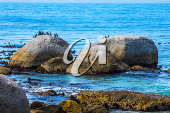 The concept of ecotourism. African black-white penguins. Boulders Penguin Colony in the South Africa. Large rocks and seaweed on the Atlantic Ocean