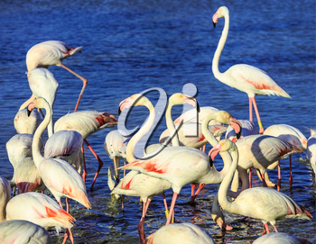 Pack of pink flamingos look for a forage in lake. Sunset in national park of Kamargue.  Delta of Rhone, Provence, France