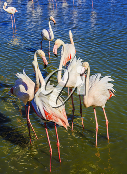 The flock of pink flamingos. Picturesque exotic birds communicate with each other