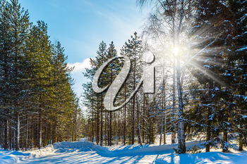 Sunset in the winter forest. Christmas in Lapland. Snowy Christmas day. The concept of exotic and extreme travel