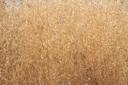 Royalty Free Photo of a Field of Dry Grass