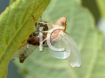 Royalty Free Photo of a Young Cicada Shedding Its Old Skin
