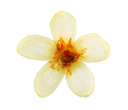 Royalty Free Photo of a Linden Flower