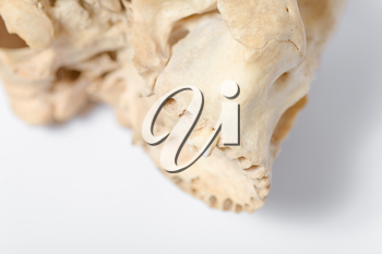 Side view of human skull jaw