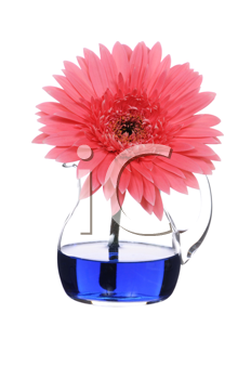 Royalty Free Photo of a Pink Gerbera in a Vase