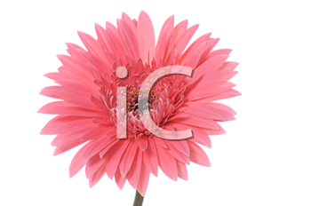 Royalty Free Photo of a Pink Gerber Daisy