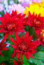 Royalty Free Photo of Chrysanthemum Flowers