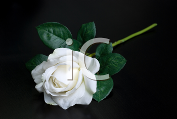 Royalty Free Photo of a White Rose