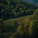 Herd of sheep in the forest and mountains, morning, Siberia, Russia