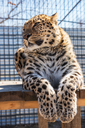 Portrait of the male leopard in a zoo