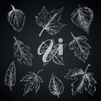 Chalk leaves of trees and bushes on chalkboard with foliage of birch and oak, striped and sugar maples, chestnut and beech, sycamore and elm, cherry and hawthorn. Sketch style