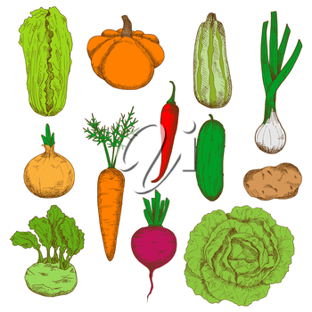 Healthy and nourishing potato, pumpkin and beet, onions and kohlrabi with fresh leaves, green cucumber, zucchini and cabbages, juicy carrot and spicy red chili pepper vegetables sketches. Fresh harves