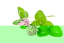Royalty Free Photo of Herbal Medicine: Red Clover