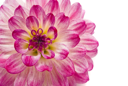 Close-up of pink dahlia (georgina), isolated over white