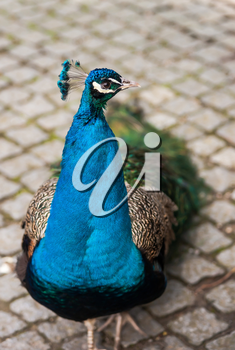Peafowl or peacock: Bird of Juno. Artistic shallow DOF. Focus on the head