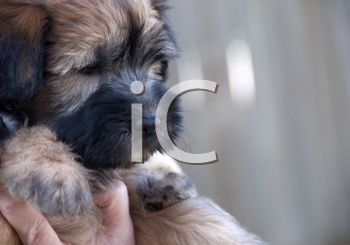 Royalty Free Photo of a Wheaten Terrier Puppy
