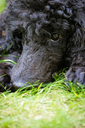 A portrait of a cute black poodle puppy with expressive eyes on a green grassy lawn.