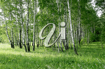 birch trees with green foliage in a summer forest