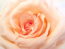 close up of delicate pink rose background