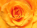 closeup of beautiful rose with water drops