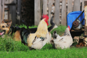 Royalty Free Photo of Animals in a Barnyard