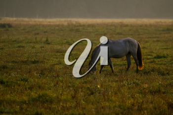 Herd of horses grazing in a meadow in the mist. Horses in a foggy meadow in autumn. Horses and foggy morning in Kemeri National Park, Latvia. Wild horse grazing in the meadow on misty summer morning.