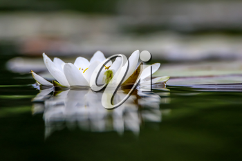White water lilies bloom in the river, Latvia. Water lily flower with green leaves in the water. White water lily in river as background.