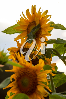 Blooming flowers. Sunflowers on background of sky. Meadow with sunflowers. Wild flowers. Nature flower. Sunflowers on field. Sunflower is tall plant of the daisy family, with very large golden-rayed flowers.
