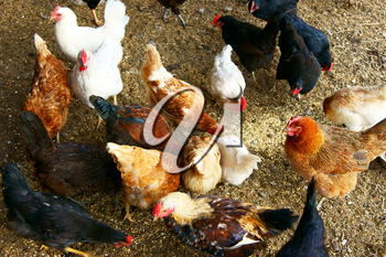 Royalty Free Photo of Hens