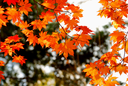 Red and yellow maple leaves as a background