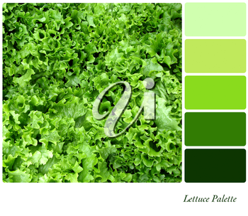 A background closeup of curly lettuce leaves in a colour palette with complimentary colour swatches.
