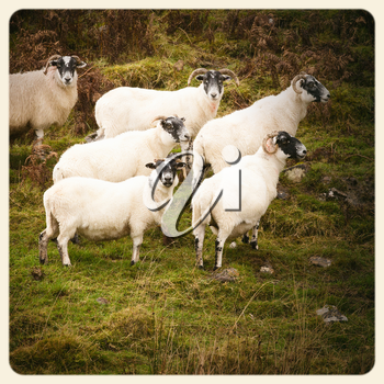 Black faced sheep in the Scottish Highlands. Filtered to look like an aged instant photo.