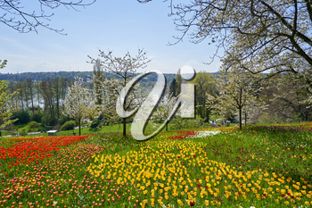 Picturesque landscape with a field of red and yellow tulips in a European park on a sunny day