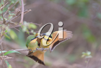 Bee eater bird mom feeding the chick perched on a branch, european bee eater