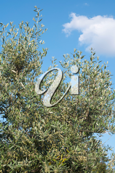 Royalty Free Photo of an Olive Tree